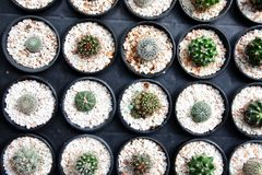 Small cactus in the black pots, Little Desert plants.  Royalty Free Stock Images