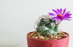 Small Cactus with Bloom Flower in The Flowerpot at The Corner Royalty Free Stock Image