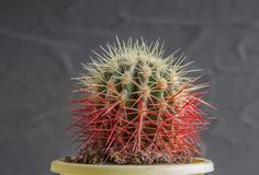 Small cactus. Close-up. On a dark background stock image