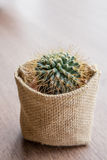 Small cactus for decorate. Royalty Free Stock Images