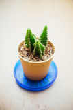 Small cactus for decorated Royalty Free Stock Photo