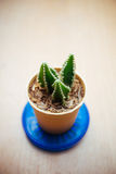 Small cactus for decorated Stock Photos