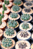 Small cactus. Stock Image