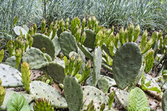 Small Cactus Royalty Free Stock Images