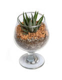 Small cactus in glass. Royalty Free Stock Image