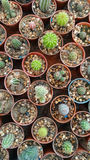Small cactus in greenhouse garden, top view Stock Image