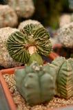 Small cactus like broccoli Stock Photography