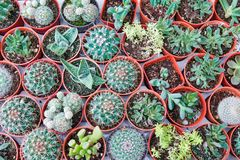 Small cactus in many pot Royalty Free Stock Photography