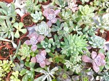 Mix colorful cute succulents in farm stock image