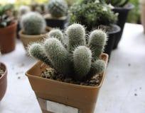 Small cactus Royalty Free Stock Photo