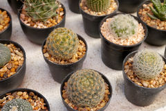 Small cactus plant pot. Stock Images