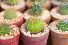 Small Cactus. Royalty Free Stock Photos