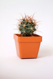 Small cactus. Cactus planted in a pot Stock Photography