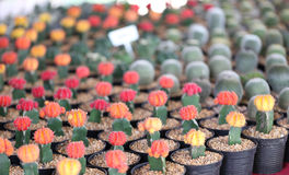 Small cactus plants. Royalty Free Stock Photography