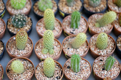 Small cactus plants. Stock Photo