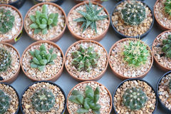 Small cactus plants. Stock Image