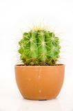 Small cactus in pot. On white background Royalty Free Stock Images