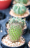 Small Cactus. Royalty Free Stock Photo