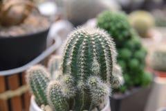 Beautiful succulent plant, small cactus in pot Stock Photo