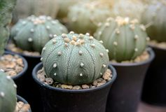 Beautiful succulent plantม small cactus in pot Royalty Free Stock Image