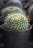 Small cactus in a pot Royalty Free Stock Photo