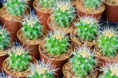Small cactus in a pot Royalty Free Stock Photography