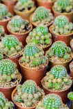 Small cactus in a pot Royalty Free Stock Image