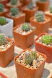 Small cactus in pot Stock Photography