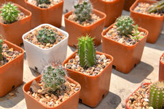 Small cactus in pot Stock Image