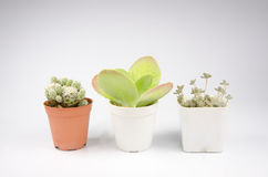 Small cactus in a pot on white background Royalty Free Stock Images