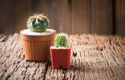 Small cactus in pot Royalty Free Stock Photo