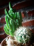 small cactus Stock Photography