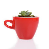 Small cactus in red ceramic cup. Small cactus in red ceramic cup on white background Stock Photography