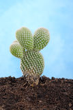 Small cactus. In soil ib blue background royalty free stock images
