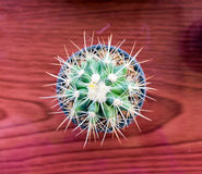 Small cactus species in vase on wooden table Royalty Free Stock Photography