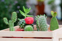 Small Cactus and Succulent in lovely wood tray. In the garden Stock Photography