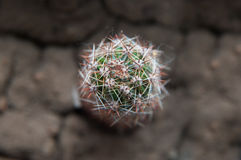 Small cactus Royalty Free Stock Image