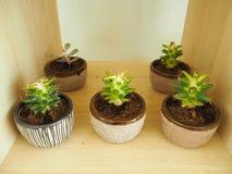 Small cactus tree Royalty Free Stock Photography