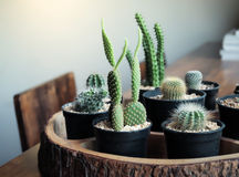 Small cactus vintage style Stock Photography
