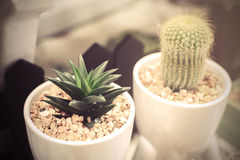 Small cactus in a white pot Stock Images