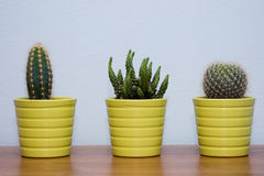 Small cactuses with blue background Royalty Free Stock Photo