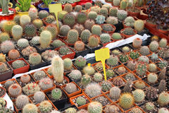 Small cactuses Stock Photography