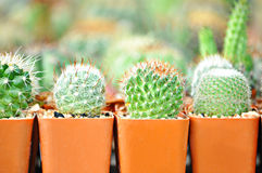 Small cactuses Royalty Free Stock Photography