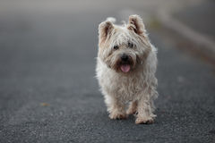 Small Cairn Terrier Dog Walking on ROad. A young white small dog / Cairn Terrier wlaking on the road towards the camera Stock Photo