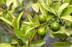 Small Calamondin from the family of citrus fruits on a tree branch stock images