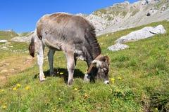 Small calf Royalty Free Stock Image