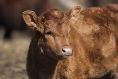 Small calf Stock Photos
