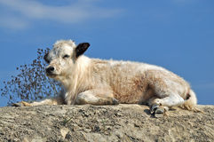 Small calf dozing in the afternoon Royalty Free Stock Photos