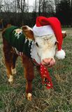 Calf dressed for christmas stock photography