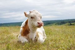 Small calf lies on a grass Stock Photo